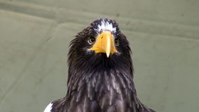 Stellers overzees adelaarshoofd stock video