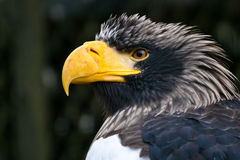 Stellers sea eagle. Steller's sea eagle close-up portrait Royalty Free Stock Photo
