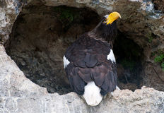 Stellers sea eagle Stock Photos