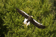 Stellers sea eagle on approach Stock Image