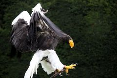 Stellers Sea Eagle coming in to land with claws outstretched Stock Photo