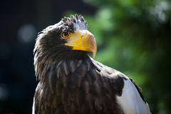 Stellers Sea Eagle Royalty Free Stock Photos