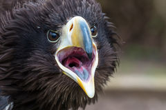Stellers Sea Eagle gape Royalty Free Stock Photography
