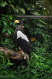 Steller's Sea Eagle (Haliaeetus pelagicus) Royalty Free Stock Photo
