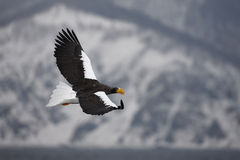 Stellers sea-eagle, Haliaeetus pelagicus Stock Photos
