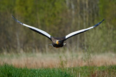 Stellers sea eagle Haliaeetus pelagicus Royalty Free Stock Image