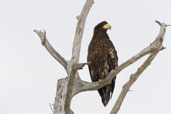 Stellers sea-eagle, Haliaeetus pelagicus Stock Images