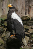 Stellers sea eagle (Haliaeetus pelagicus). Stock Photos