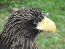 Stellers Sea Eagle Royalty Free Stock Photography