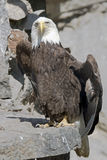 Stellers sea eagle 8 Royalty Free Stock Photos