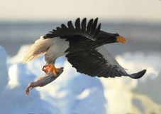 Stellers sea eagle with spoil Stock Images