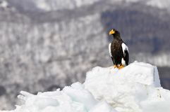 Stellers Sea-eagle, Steller-zeearend, Haliaeetus pelagicus. Stellers Sea-eagle perched on ice; Steller-zeearend zittend op ijs royalty free stock photo