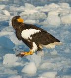Stellers Sea-eagle, Steller-zeearend, Haliaeetus pelagicus. Stellers Sea-eagle perched on ice; Steller-zeearend zittend op ijs stock photography