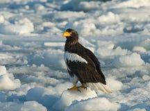 Stellers Sea-eagle, Steller-zeearend, Haliaeetus pelagicus. Stellers Sea-eagle perched on ice; Steller-zeearend zittend op ijs royalty free stock images