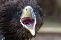 Stellers-See-Eagle-Gähnen Lizenzfreie Stockfotografie