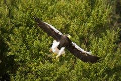 Stellers-Seeadler auf Annäherung Stockbild