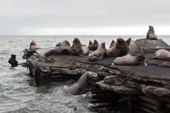 Stellerscher Seelöwe oder Nordseelöwe (Eumetopias Jubatus) rooke Lizenzfreie Stockbilder