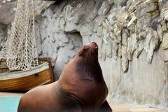 Stellerscher Seelöwe taucht vom Wasser auf stockfotos