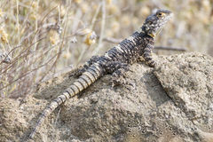 Stellion. A stellion (Laudakia stellio), also known as a hardim or star lizard, is a species of agamid lizard found in Greece, Southwest Asia, and Northeast Royalty Free Stock Photo