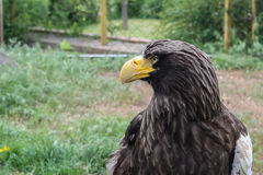 Stelller`s sea eagle or Pelagicus haliaeetus Royalty Free Stock Photography
