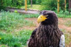 Stelller`s sea eagle or Pelagicus haliaeetus Stock Images
