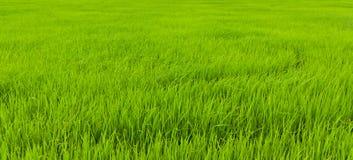 Stellt Reis in Thailand auf Lizenzfreie Stockfotografie