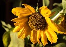 Stellte einzelner Blütenstaub beladene gelbe Sonnenblumenblüte gegen schwarzen Hintergrund, Allergiezeit ein lizenzfreie stockbilder