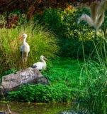 Stellung des weißen Storchs auf einem Felsen mit einem anderen Storch im Hintergrund, gemeine Vögel von Europa stockfoto