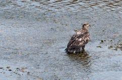 Stellung in einem kalten Fluss Lizenzfreie Stockfotos