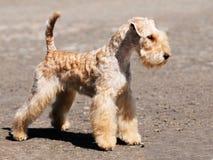 Stellung Lakelands Terrier Lizenzfreie Stockfotografie