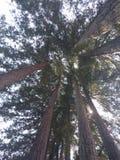 Stellung unter Rotholzbäumen Stockbild