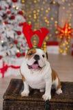 Stelt de Engelse buldog van het hondras onder de de boomzitting van het Kerstmis nieuwe jaar op mand dicht bij het gelukkige glim Royalty-vrije Stock Afbeeldingen