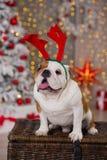 Stelt de Engelse buldog van het hondras onder de de boomzitting van het Kerstmis nieuwe jaar op mand dicht bij het gelukkige glim Stock Afbeeldingen