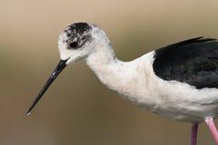 Steltkluut, μαύρος-φτερωτό ξυλοπόδαρο, himantopus Himantopus στοκ εικόνα με δικαίωμα ελεύθερης χρήσης