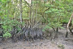 Steltwortels van mangrovebomen in de Reserve van het Moerasland van Sungei Buloh, Singapore royalty-vrije stock foto's