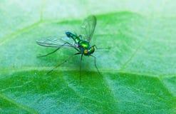 Stelze-mit Beinen versehene Fliegen Lizenzfreie Stockfotografie