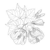Stem with Abutilon flower, leaf and bud isolated on white background. Floral elements in contour style Stock Photography