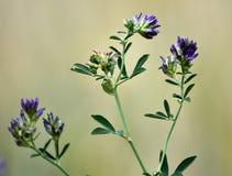 Stem alfalfa crop Royalty Free Stock Photo
