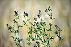 Stem alfalfa crop_5. The stem of the flower planting of alfalfa - a valuable fodder for livestock Stock Photo