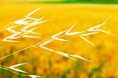 Stem av torrt gräs arkivfoton