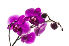 A stem with beautiful orchids flowers Royalty Free Stock Photos