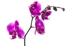 A stem with beautiful orchids flowers Royalty Free Stock Photography