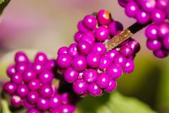 Beauty Berries stock photo