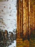 Stem birch Royalty Free Stock Photography
