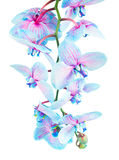 Stem of blue orchids Royalty Free Stock Photos