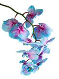Stem of blue orchids Stock Photography