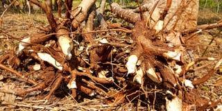 Stem of cassava plants royalty free stock photography
