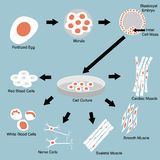 Stem Cell. Illustration of stem cell culture and cell differentiation Royalty Free Stock Photo