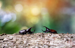 Stem eating beetle prepare to fight. Stem eating beetle & x28;Xylotrupes gideon L.& x29; prepare to fight Royalty Free Stock Photo
