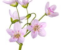 Stem and flowers of spring beauty isolated on white. Stem with several open flowers of the spring beauty wildflower Claytonia virginica isolated against a white stock photos